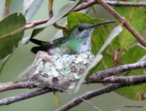 Mangrove Hummingbird on Nest