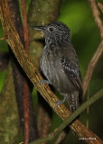 Black-hooded Antshrike