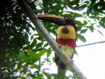 Fiery -billed Aracari