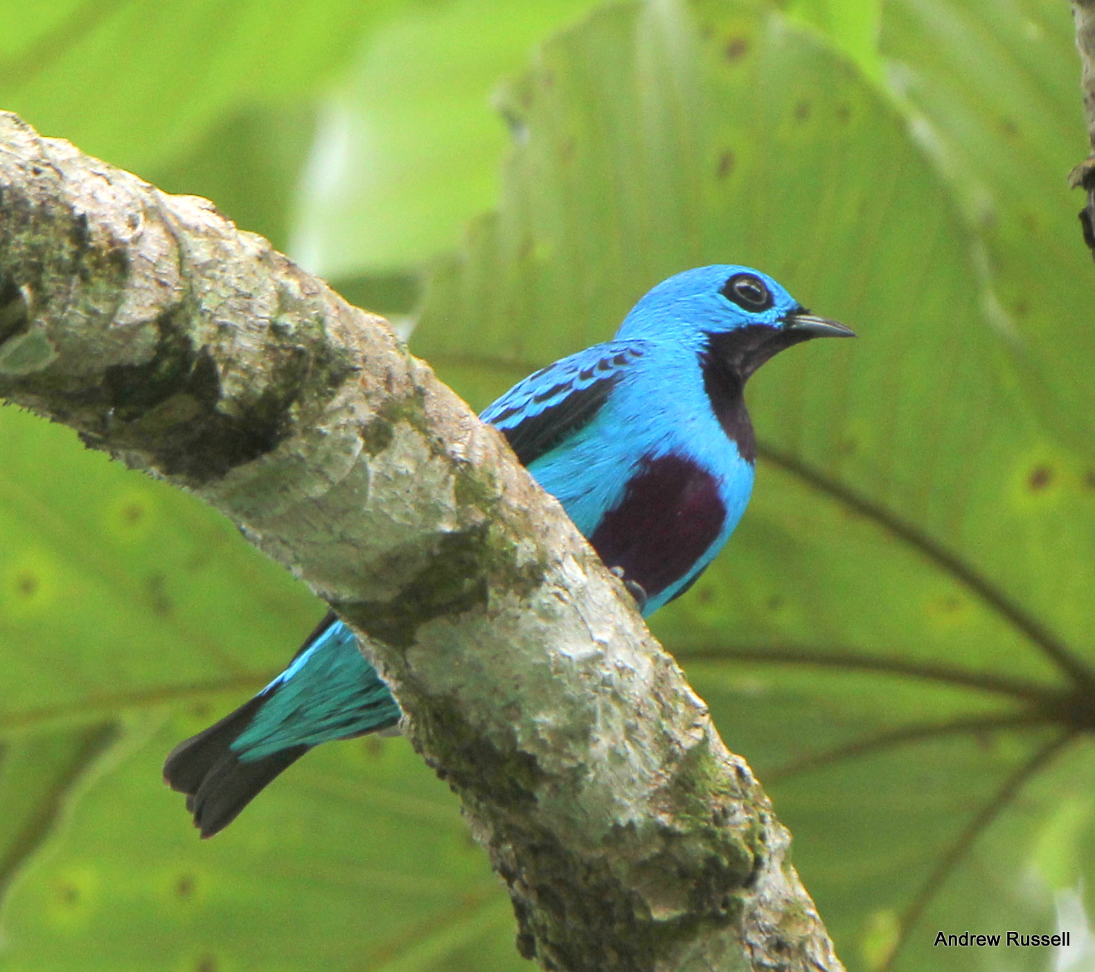 Turquoise Cotinga, Photo by Andrew Russell