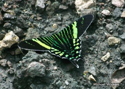 Urania Swallowtail Moth at Bosque del Rio Tigre Lodge
