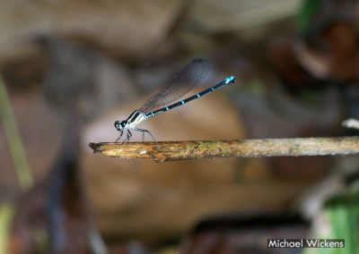 One of our Damselflies