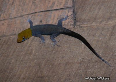Yellow-headed Gecko