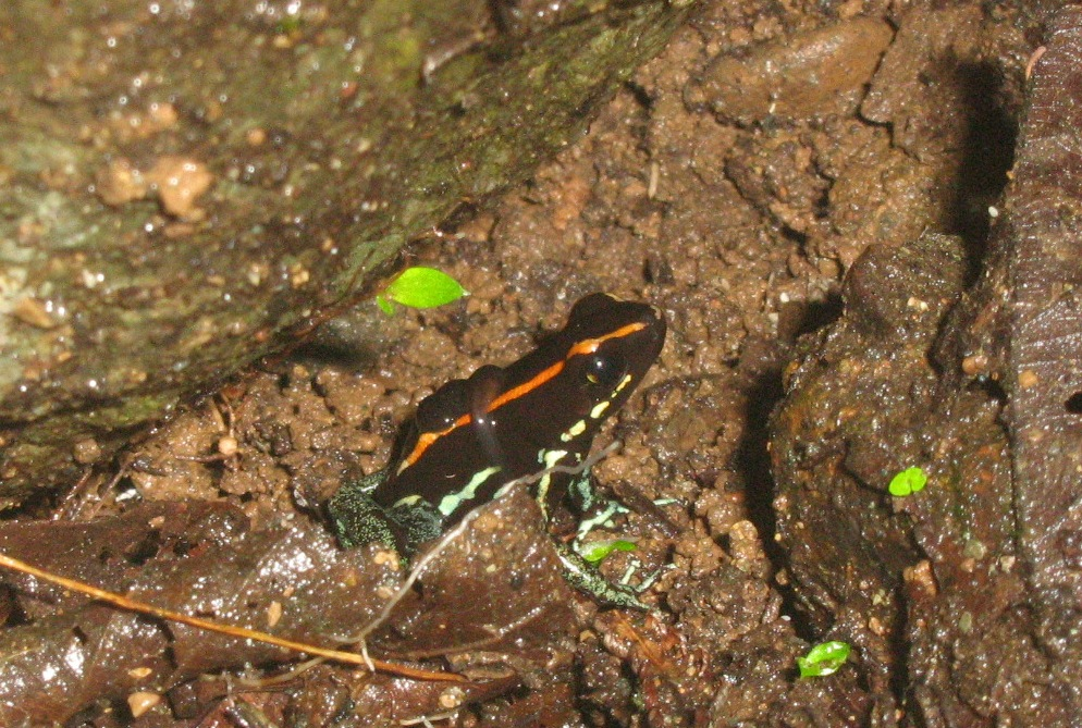 Endemic Golfo Dulce Poison Dart Frog near the Rio Tigre