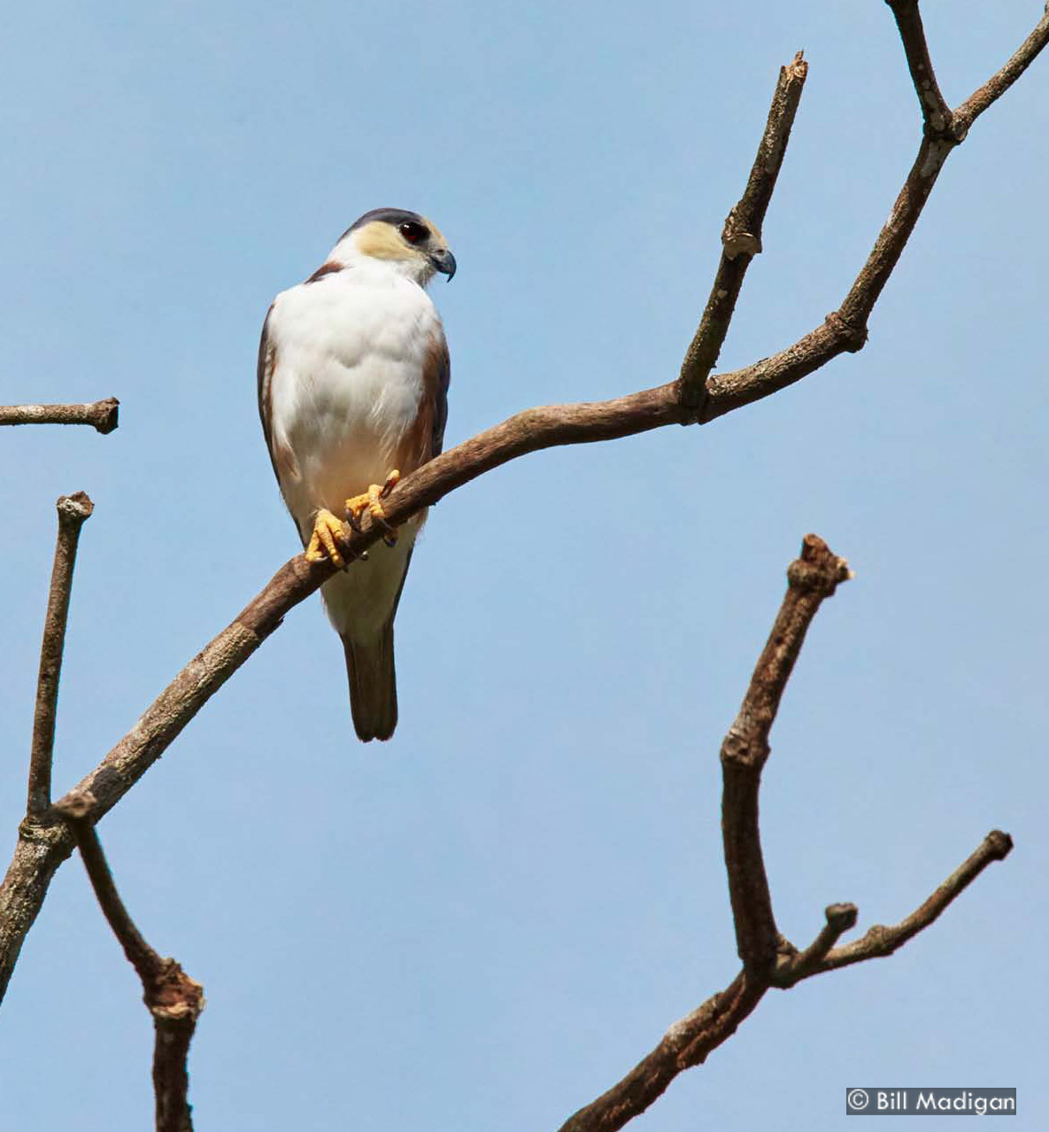 Pearl Kite, photo by Bill Madigan