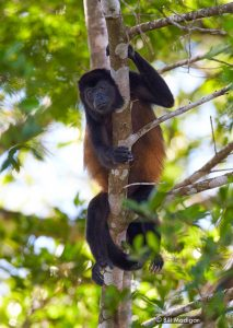 Mantled Howler Monkey on the Osa Peninsula and Corcovado National Park