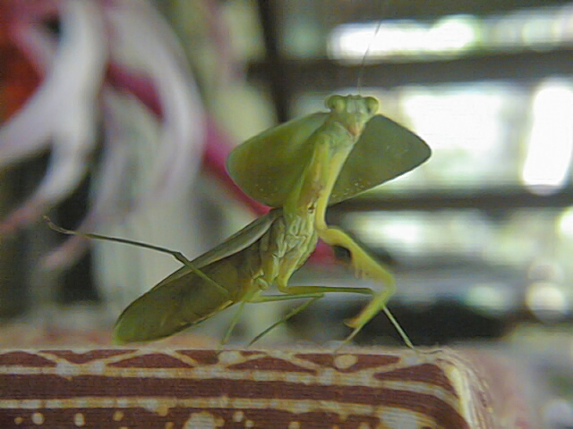 A Preying Mantis, a unique insect that can be seen in Reserva Forestal Golfo Dulce