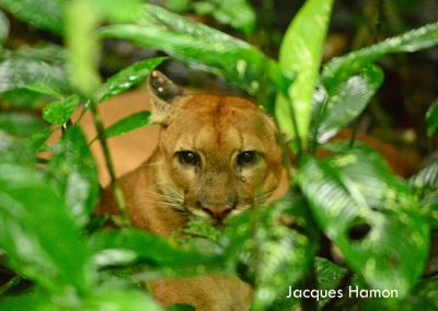 Puma at Bosque del Rio Tigre Lodge