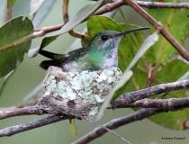 Mangrove Hummingbird on Nest