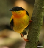 Orange-collared-Manakin