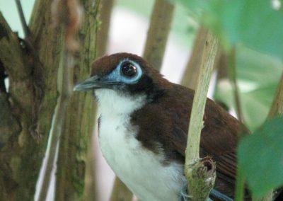 Bi-colored Antbird at Bosque del Rio Tigre Lodge