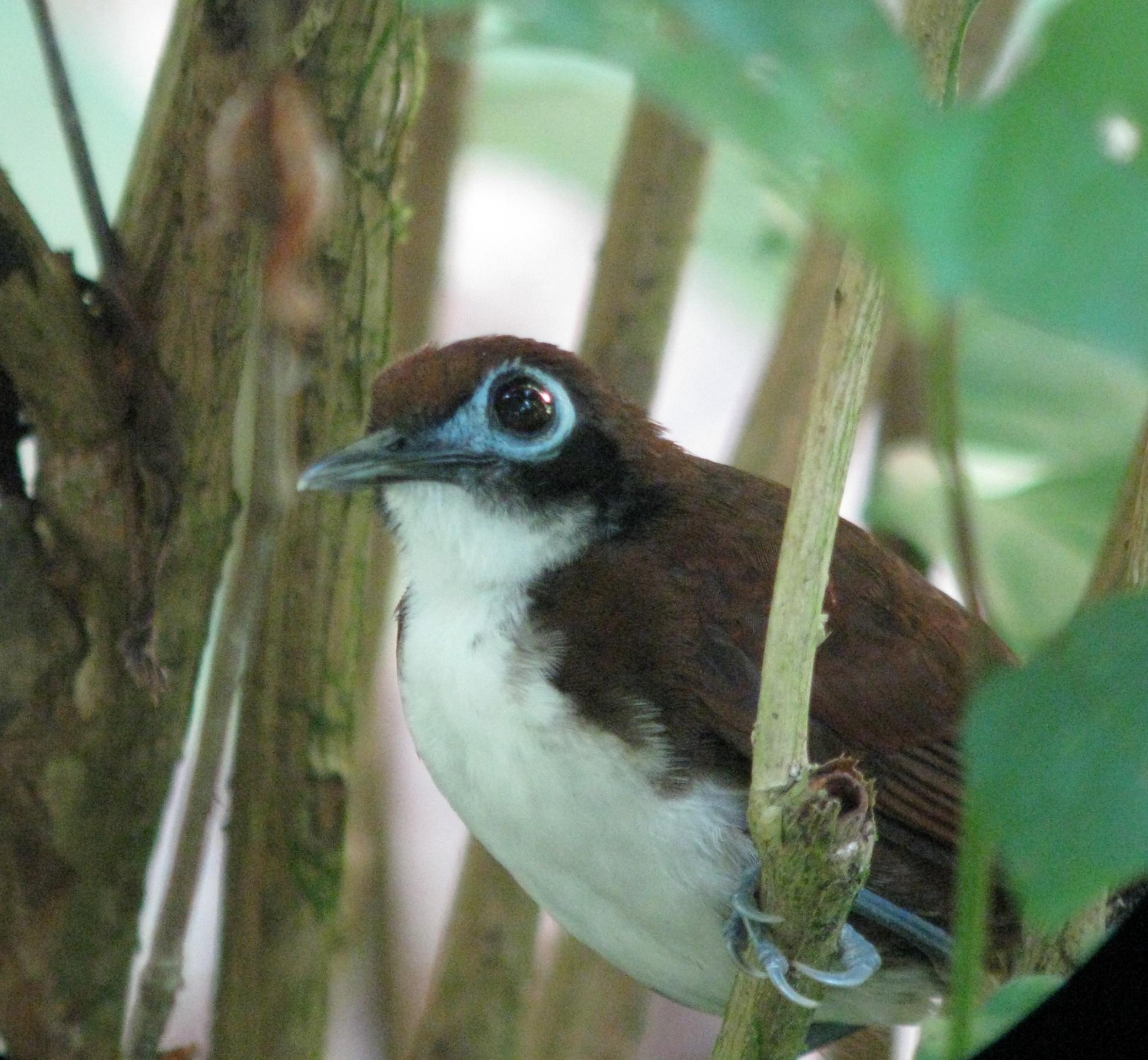 Bi-colored Antbird