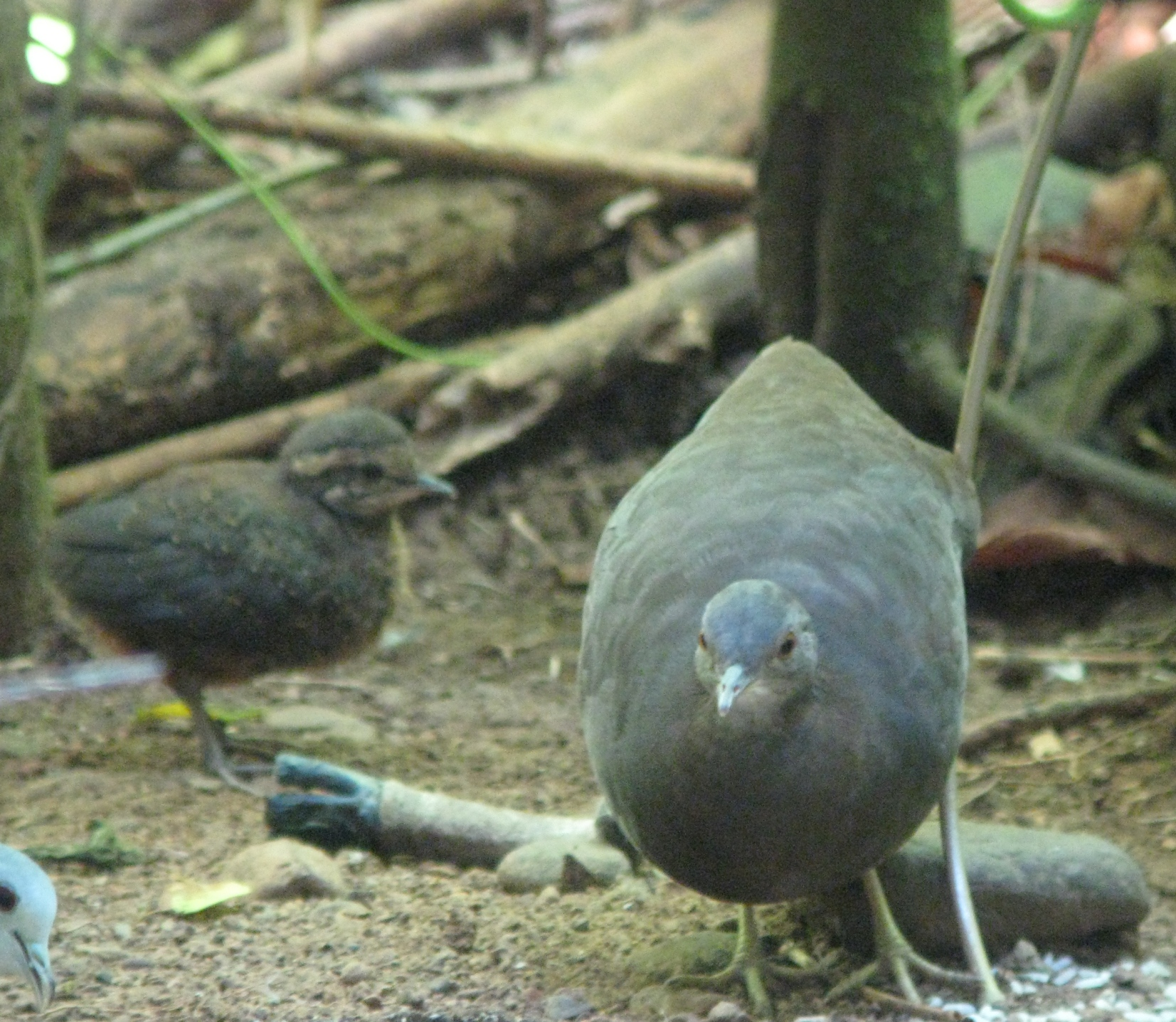 Little Tinamou and Chick