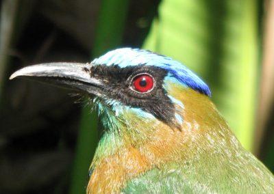 Blue-crowned Motmot at Bosque del Rio Tigre Lodge