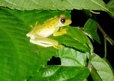 Glass frog at Bosque del Rio Tigre Lodge
