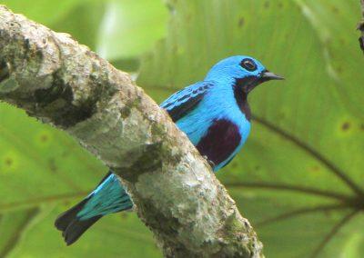 Turquoise Cotinga at Bosque del Rio Tigre Lodge