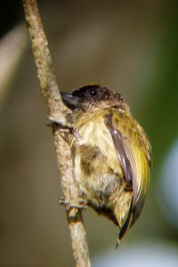 Oliveous Piculet
