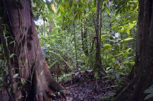 Primary lowland rainforest near Corcovado, Costa Rica