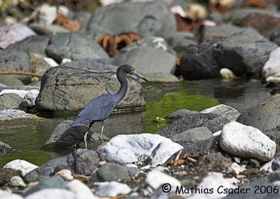 Little Blue Heron hunting the rocky river