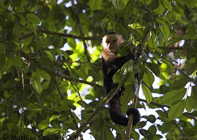 White-faced Capuchin at Bosque del Rio Tigre Lodge