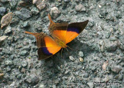 Iole's Daggerwing Butterfly at Bosque del Rio Tigre Lodge