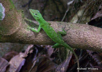 Green Tree Anole at Bosque del Rio Tigre Lodge