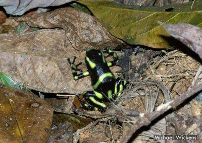 Green and Black Poison Dart Frog at Bosque del Rio Tigre Lodge