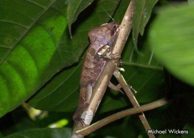 Helmeted Lizard at Bosque del Rio Tigre Lodge