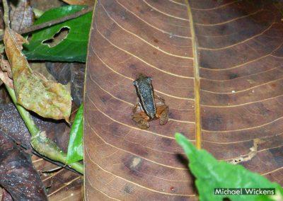 Talamacan Dart Frog at Bosque del Rio Tigre Lodge