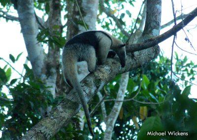 Tamandua Anteater at Bosque del Rio Tigre Lodge