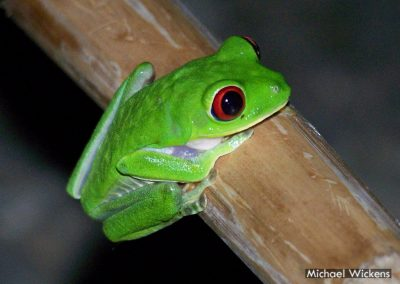 Red-eyed Tree Frog at Bosque del Rio Tigre Lodge