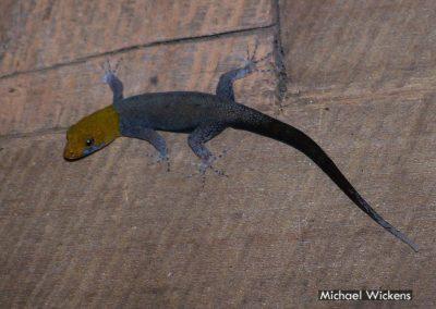 Yellow-headed Gecko at Bosque del Rio Tigre Lodge