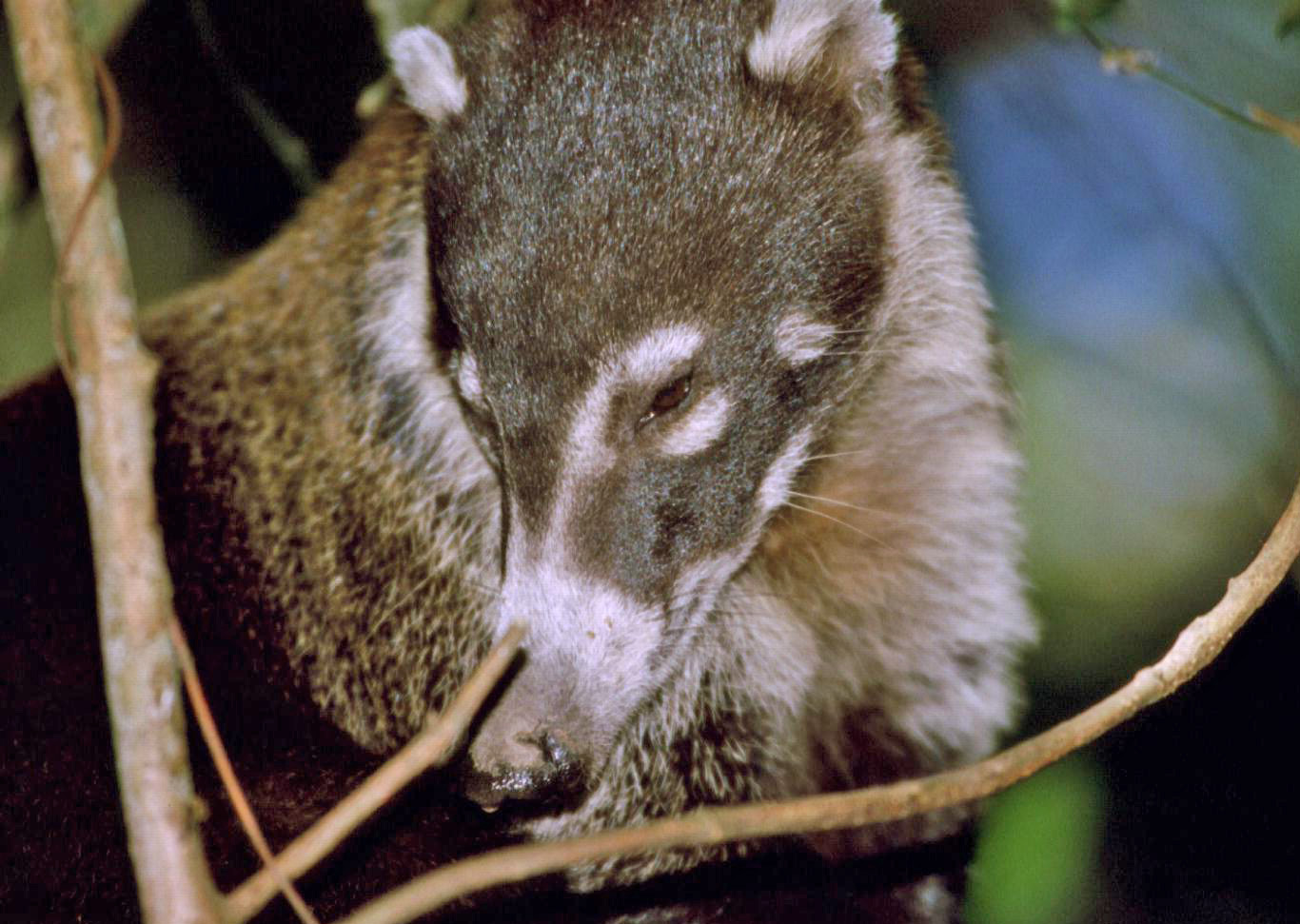 There are many mammals, both large and small, that can be found on the Osa Peninsula and Corcovado National Park