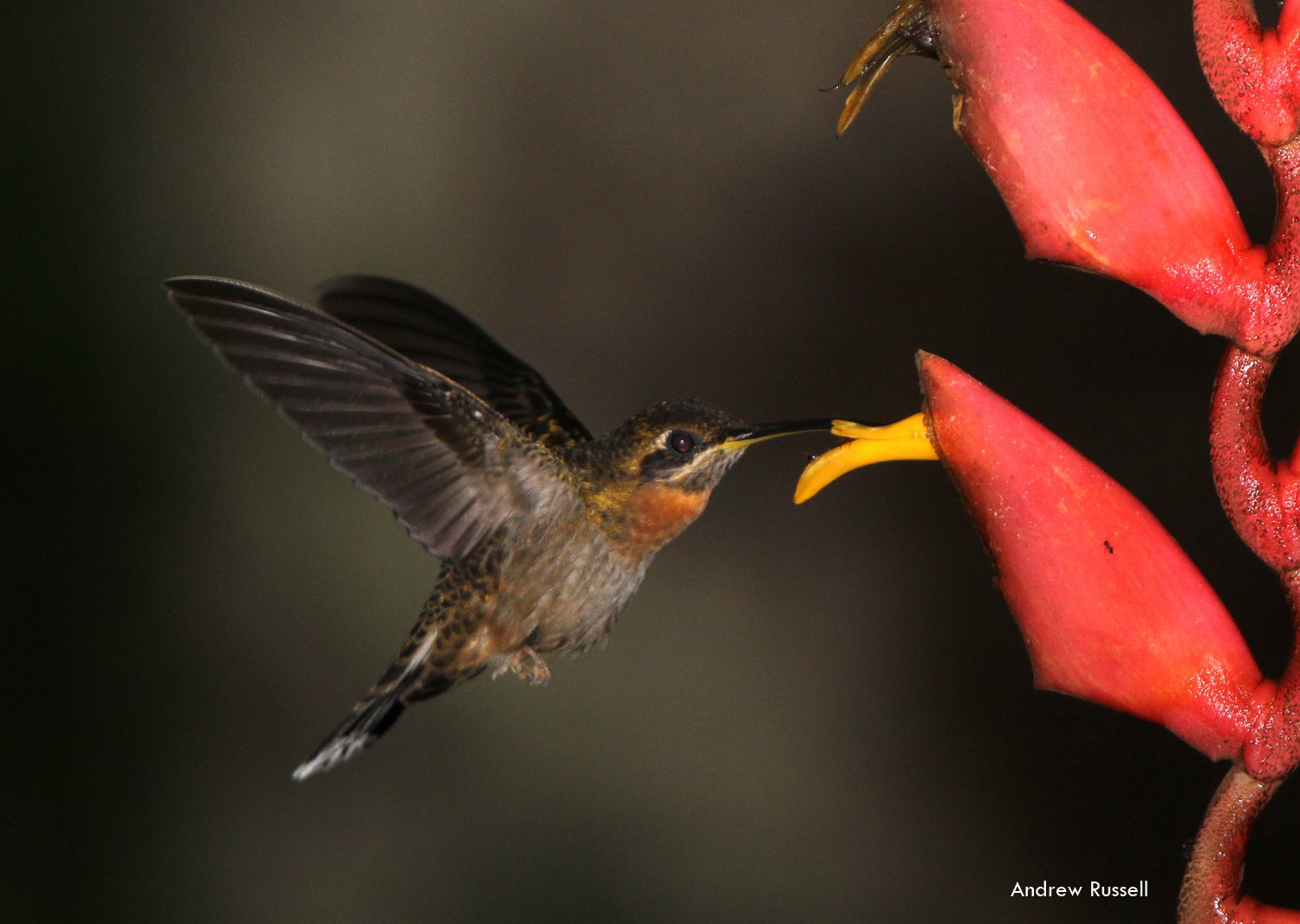 Band-tailed Barbthroat, photo by Andrew Russell