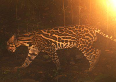 Ocelot at Bosque del Rio Tigre Lodge