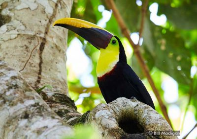 Black-mandibled Toucan at Bosque del Rio Tigre Lodge