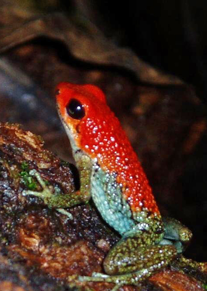A poison dart frog in the primary rainforest of the Osa Peninsula, near Corcovado National Park
